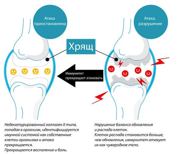 Изображение - Коллаген второго типа для суставов collagen_4