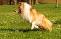 Эффективное лечение суставов собак от артрита.